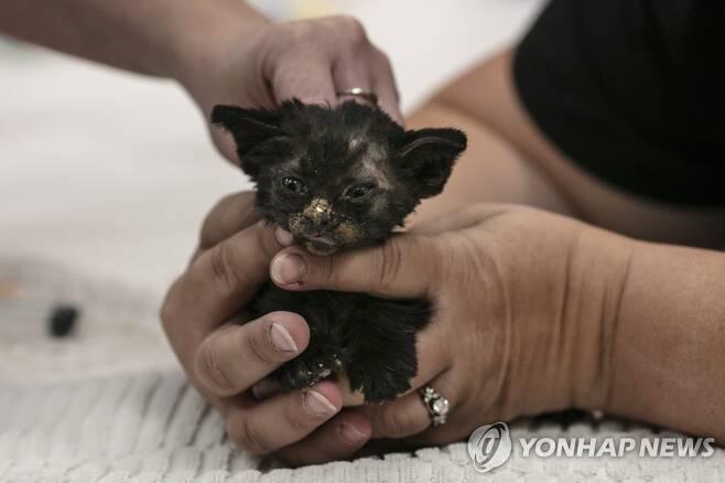 얼굴에 화상을 입은 생후 8주 새끼고양이 [AP=연합뉴스]