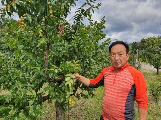 김홍래씨가 수확량이 급격히 감소한 노지 대추 나무를 보여주고 있다. 나무 상부를 제외한 줄기에 대추 열매가 달리지 않거나 떨어졌다. 최종권 기자