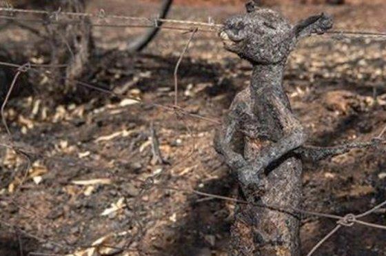 호주의 대형 산불로 인해 타 죽은 캥거루. 미국의 서퍼 켈리 슬레이터(Kelly Slater) SNS 캡처