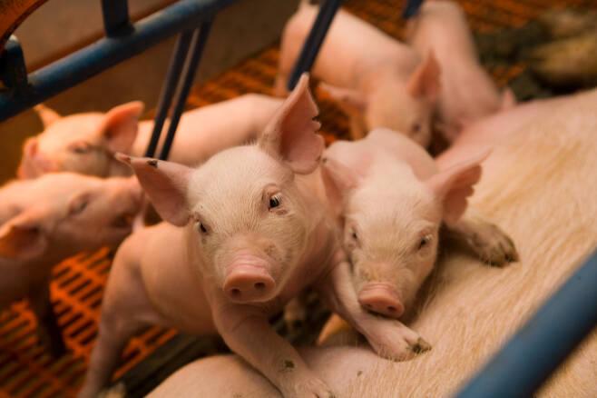 사망률 90%의 돼지 코로나바이러스도 사람에게 전염된다고? - 돼지 코로나로 불리는 돼지 급성 설사증후군 유발 코로나바이러스는 설사, 구토 증상에 시달리다가 감염 개체의 90%가 사망에 이르는 치명적 질병이다. 미국 연구진이 돼지 코로나 바이러스가 현재는 돼지에게만 나타나지만 사람도 감염시킬 가능성이 크다는 연구결과를 내놨다.미국 미네소타대 제공