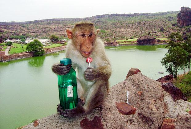 인도 바다미 지역에서 원숭이한 마리가 술병과 사탕을 손에 쥐고 있다./사진=픽사베이