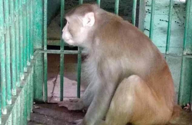 알코올중독 증상과 더불어 심한 공격성 및 육식을 고집하는 성향을 보인 원숭이(사진)한 마리가 사람들을 공격해 1명이 사망하고 250여 명이 큰 부상을 입었다.