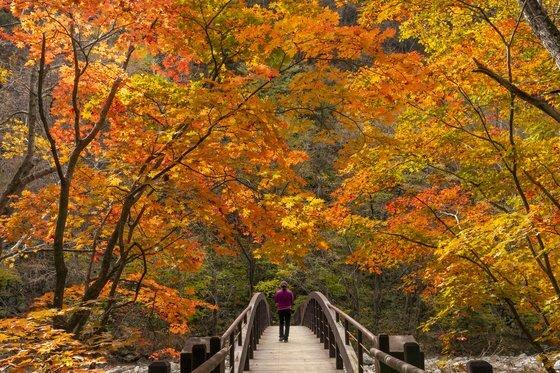 지금 오대산 선재길은 가을빛이 완연하다. 숲길 곳곳으로 단풍이 드리워 있다.
