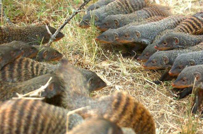 줄무늬몽구스의 수컷은 집단 안 주도권을 놓고 싸우지만 암컷은 집단 사이의 싸움을 부추긴다. 해리 마셜 제공.