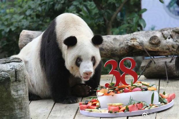 세계 최고령 판다 '신싱'이 세상을 떠났다. 22일 중국 관영 글로벌타임스는 충칭 동물원에 살던 세계 최장수 판다 신싱이 38년 4개월 만에 사망했다고 보도했다./사진=충칭동물원