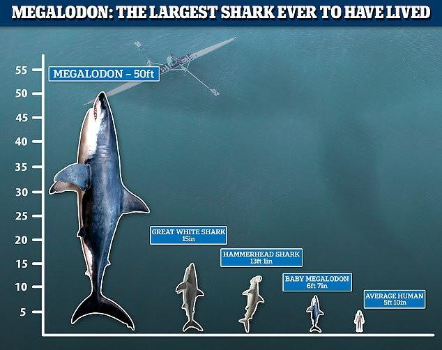 메갈로돈(15m)과 백상아리(4.5m), 귀상어(3.9m), 새끼 메갈로돈(2m) 그리고 성인 남성(1.7m)의 크기를 비교한 이미지.
