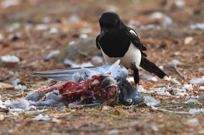 참매가 남기고 간 비둘기는 까치 차지다. 까치는 도시의 청소부 동물이기도 하다.