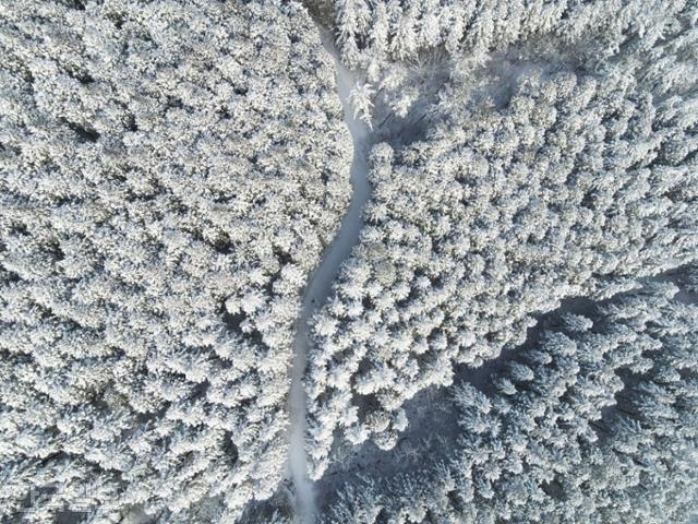 이틀간 폭설이 내린 지난 8일 장성 축령산 편백나무 숲이 환상의 설국으로 변했다. 독보적 '조림왕' 임종국씨가 1956년부터 가꿔 온 국내 최대 규모의 삼나무와 편백나무 숲이다.