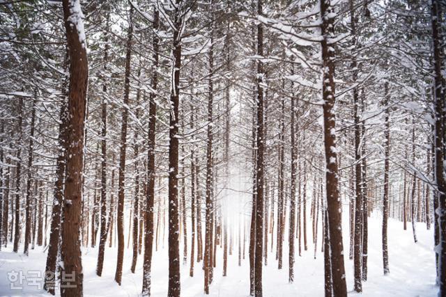 편백나무 사이로 가루눈이 흩날리면 신비로운 장면이 연출된다.