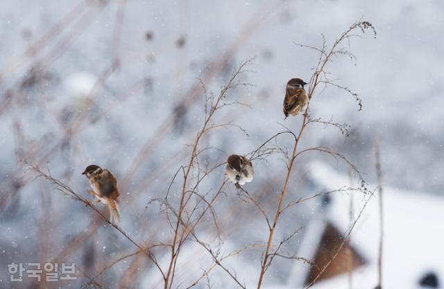 겨울은 짐승에게도 힘든 계절이다. 금곡영화마을에서 참새 세 마리가 마른 풀대에 앉아 먹이를 찾고 있다.