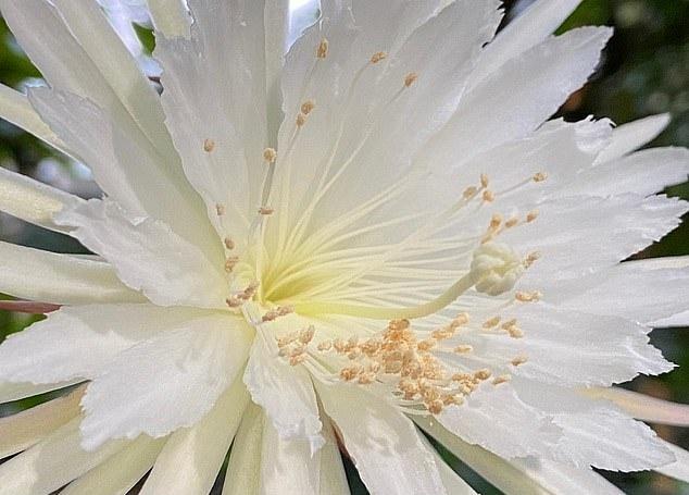 영국 케임브리지대학 보타닉가든에서 개화한 희귀 선인장 셀레니체레우스의 꽃. 단 12시간 피었다 진 이 꽃의 개화 과정은 20만 명이 생중계로 지켜봤다.