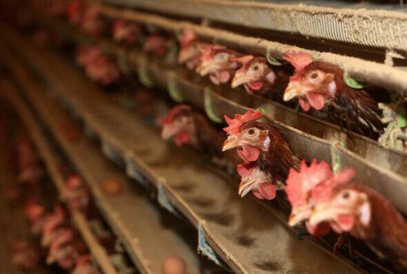 밀집사육 농장의 닭들은 좁은 케이지 안에서 평생을 살며 달걀을 생산한다. 강재훈 선임기자 khan@hani.co.kr