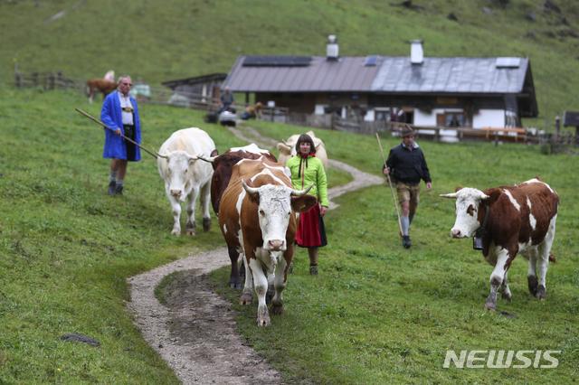 [AP/뉴시스] 독일 바이에른주에서 2020년 10월 가을이 되자 산악지대 농부들이 여름 방목장에서 소를 다시 데려오고 있다