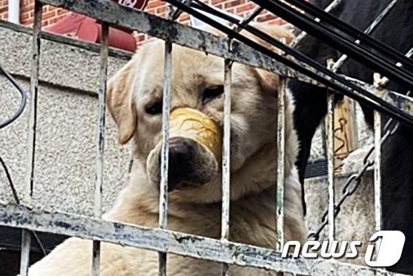 테이프로 입이 칭칭 감긴 리트리버 강아지. 사진 동물구조119 제공 © 뉴스1