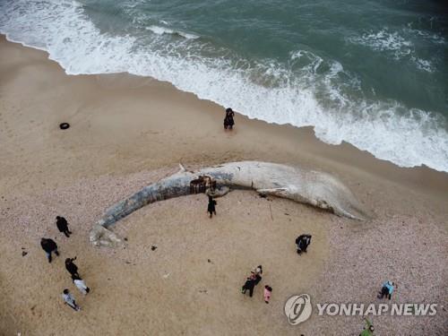 기름 유출 사고 당시 죽은채 이스라엘 해변에 떠밀려온 몸길이 17m의 고래 [epa=연합뉴스 자료사진]