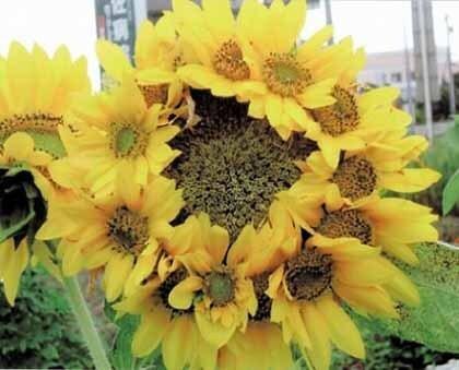 """후쿠시마 원전 사고 후 약 1년 6개월 쯤 지난 시점서 촬영된 해바라기. 일본 가가와현에서 촬영된 것으로 전해졌다. 현 농업생산유통과는 """"해바라기에서 이같은 '관생현상'이 나타나는 건 매우 드물다""""고 말했다. 관생현상은 식물기관의 생장이 그칠 시기에 도달하여 완전한 형상을 갖추게 된 후에도 생장을 계속하는 것을 말한다. 이같은 현상은 야마가타현에서도 발견됐다. 시코쿠신문"""