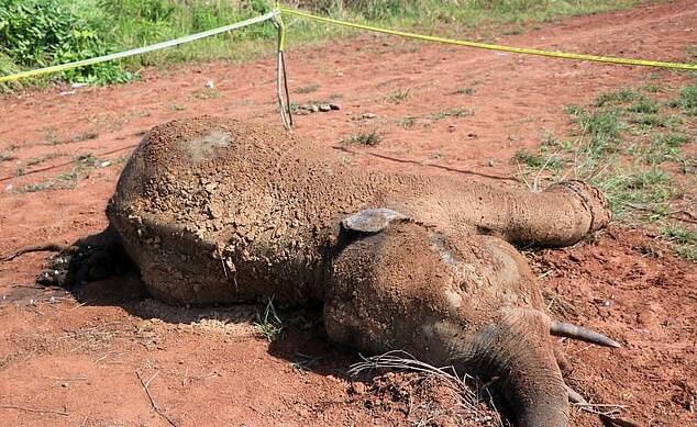 최근 사체로 발견된 수마트라 코끼리