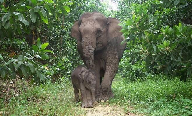 수마트라 코끼리의 모습 (자료사진)