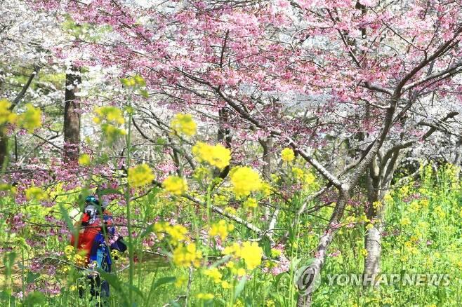 제주 봄꽃의 향연 [연합뉴스 자료사진]