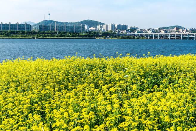 반포대교와 서울타워, 서래섬의 유채꽃