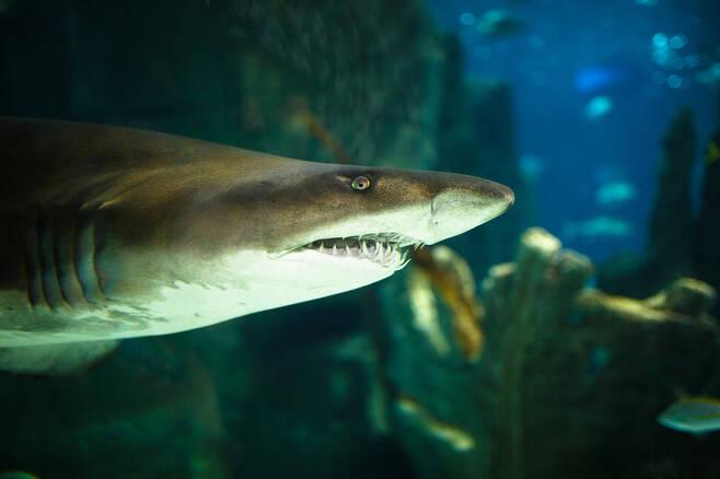 뱀상어는 바다동물뿐 아니라 사람이 버린 쓰레기까지 닥치는 대로 삼키는 습성이 있다. 게티이미지뱅크