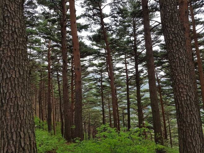 대관령 소나무숲길에 우뚝 솟아 있는 황장목들.
