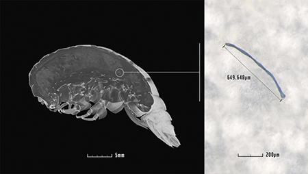마리아나 해구에서 발견된 새로운 종의 갑각류(왼쪽)와 소화기관에서 발견된 플라스틱 조각. [포브스 캡처]