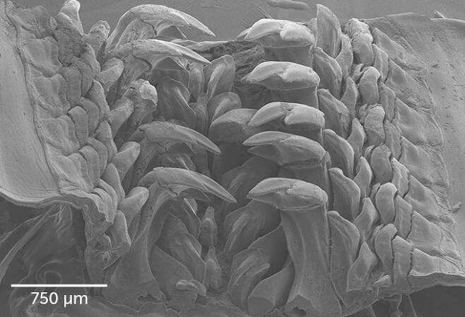 산타바바라이트를 함유한 이빨의 확대 이미지.(사진=노스웨스턴대)