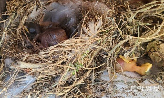 알에서 깨어난 뻐꾸기 새끼(왼쪽)가 먼저 깨어난 딱새 새끼를 밀어내고 둥지를 독차지하고 있습니다. 2018년 6월 22일, 경기 남양주시.