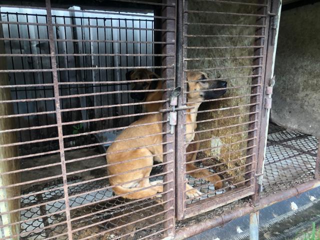 경기 김포시 개 도살장에서 길러지던 누렁이는 결국 구조되지 못했다. 동물구조119 제공