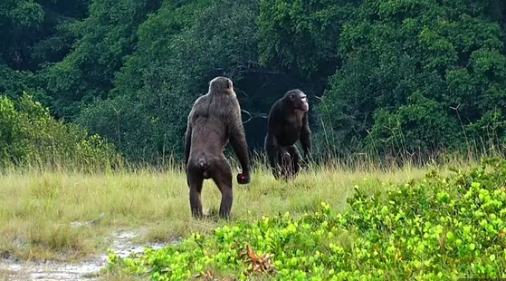 가봉 국립공원 야생의 침팬지 무리가 고릴라 무리를 공격하고 죽은 사체를 먹는 모습이 포착됐다. 전문가들은 기후변화로 인한 먹이 부족으로 경쟁이 심화되면서 발생한 현상으로 해석하고 있다.