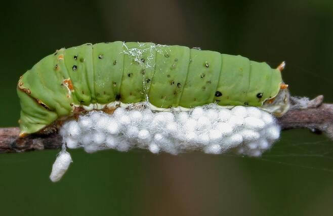 기생벌 애벌레들이 나비 애벌레의 몸을 먹고 자라나 고치(흰색)를 튼 모습./위키미디어
