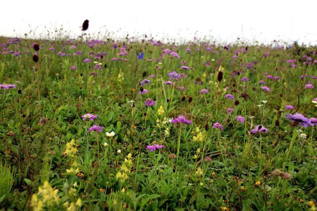 공중초원을 뒤덮은 솔체꽃과 오이풀. ⓒ최종명
