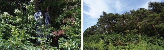 따오기 처음 번식한 소나무 둥치를 미끄러운 양철판으로 둘러 담비와 삵이 나무로 침입하는 것을 막았다(왼쪽). 따오기가 첫 야생 번식에 성공한 모곡리 야산 전경.