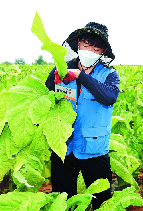 한 봉사단원이 잎담배를 한 장씩 정성스럽게 따고 있다. 잎담배 수확은 허리를 굽히고 줄기 아랫부분부터 일일이 수작업을 해야 해서 노동 강도가 높다.