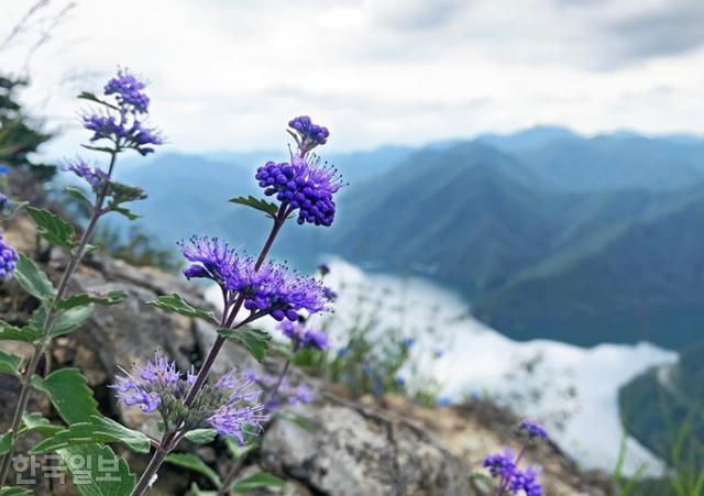 운암산 등산로 주변 바위 절벽에 뿌리 내린 층꽃나무.