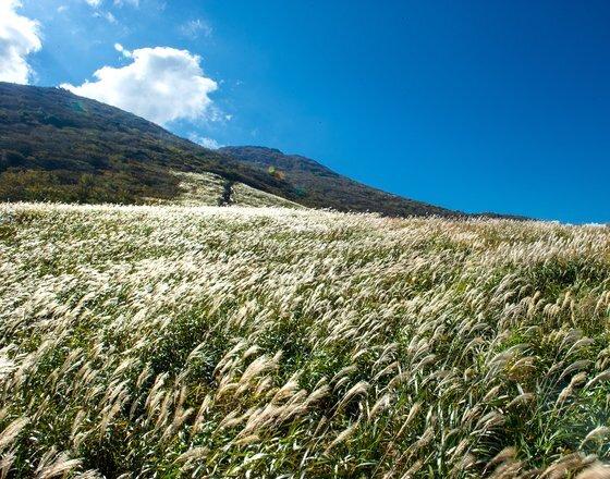영남 알프스 간월재 억새. 9월부터 억새 꽃이 피면 푸른 억새가 은빛 물결을 이룬다. [사진 울주군]