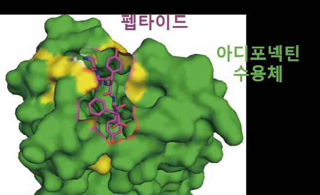 아디포넥틴 수용체