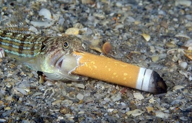 캐나다 작가 스티븐 코박스는 미국 플로리다주 해안에서 담배꽁초를 집어삼키는 매퉁이 한 마리를 촬영했다.