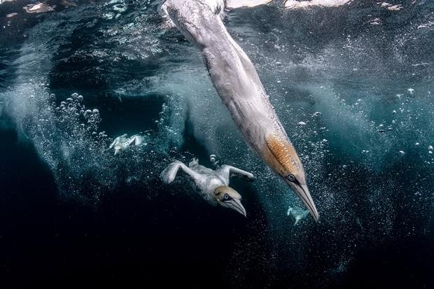 """영국 작가 헨리 스피어스는 스코틀랜드 셰틀랜드에서 바다로 뛰어드는 부비새를 포착한 사진으로 2위에 올랐다. 그는 """"환경에 적응하도록 진화한 부비새는 시속 95㎞ 속도로 물에 부딪히면서도 놀라운 민첩성을 자랑했다""""고 설명했다."""